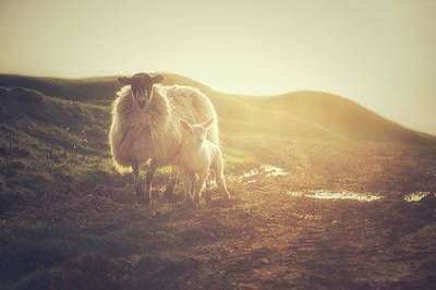 Lamb Photograph - Late Afternoon Family Outing by Chris Fletcher