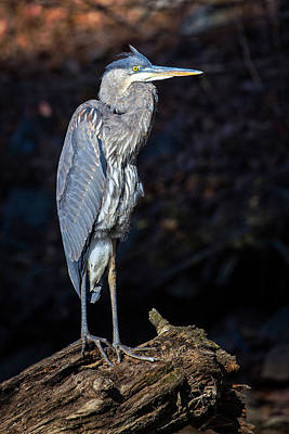 Photograph - Late Afternoon Heron by Alan Raasch