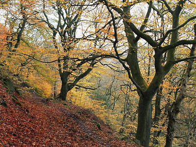 Photograph - Late Autumn Beech Forest With Golden Leaf Colours And Fallen Lea by Philip Openshaw