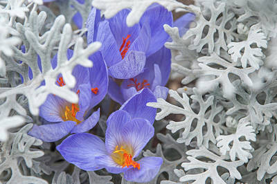 Photograph - Late Autumn Crocuses With Silverdust by Jenny Rainbow