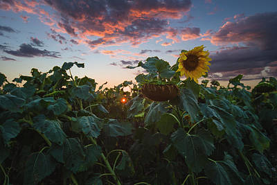 Sunflowers Royalty-Free and Rights-Managed Images - Late Bloomer by Aaron J Groen
