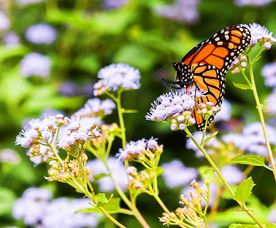 Photograph - Late In The Season Butterfly by Edward Peterson