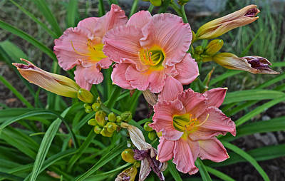 Photograph - Late July Coral Daylilies by Janis Nussbaum Senungetuk