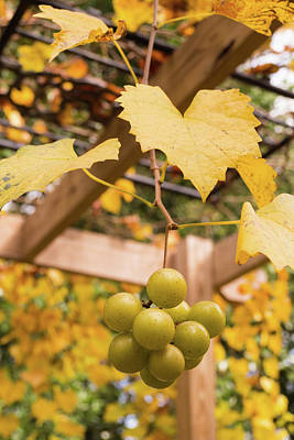 Photograph - Late Muscadine Grapes With Autumn Foliage by MM Anderson