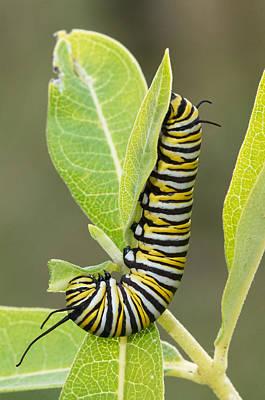 Photograph - Late Season Monarch by Jim Zablotny