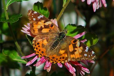Photograph - Late Season Painted Lady by Kathryn Meyer