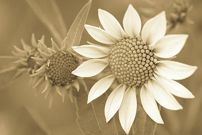 Photograph - Late Summer Wildflower In Sepia by Joni Eskridge
