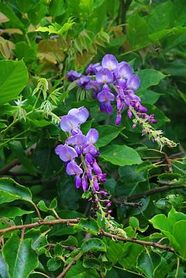 Photograph - Late Wisteria by Kathryn Meyer