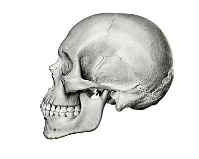 Grim Reaper Drawing - Lateral View Of Human Skull by German School
