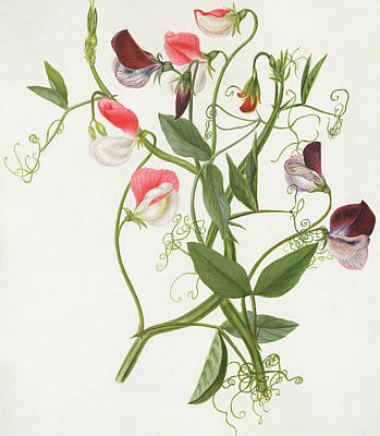Colorful Drawing - Lathyrus Odoratus by Matilda Conyers