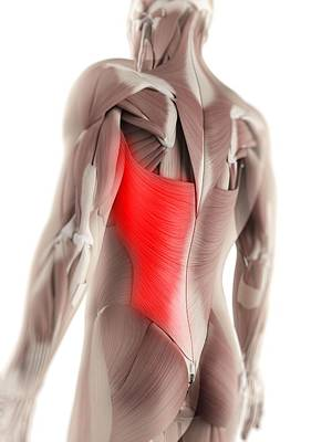 Physiology Digital Art - Latissimus Dorsi Muscle, Artwork by Sciepro