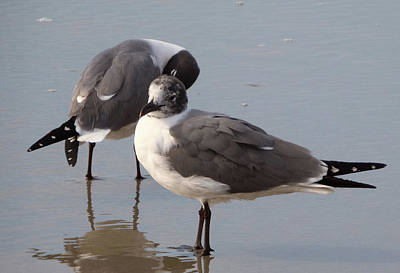 Photograph - Laughing Gull by Cathy Harper