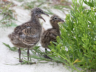 Photograph - Laughing Gull Chicks by Art Cole