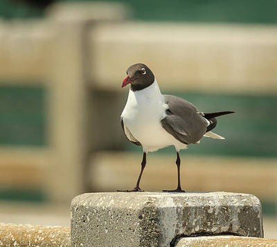 Photograph - Laughing Gull Close Up by Joni Eskridge