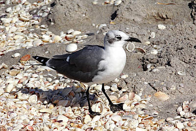 Photograph - Laughing Gull by Debbie Oppermann