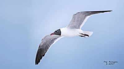 Photograph - Laughing Gull In Flight by Peg Runyan