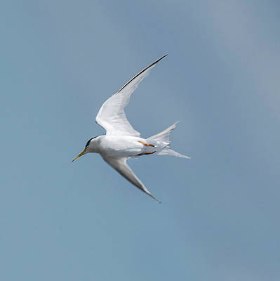 Photograph - Laughing Gull In Flight by William Bitman