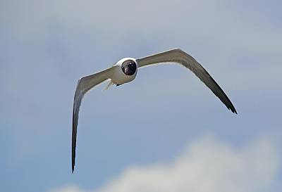 Laughing Gull Original by Kenneth Albin