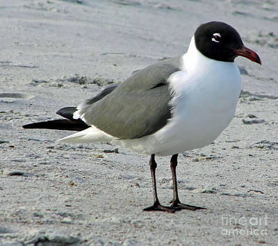 Photograph - Laughing Gull On The Beach by D Hackett