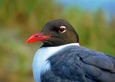 Photograph - Laughing Gull Portrait by Carolyn Derstine