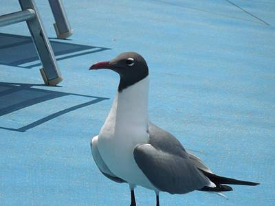 Photograph - Laughing Gull by Ron Davidson