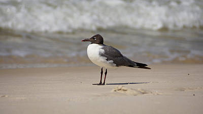 Photograph - Laughing Gull by Sandy Keeton
