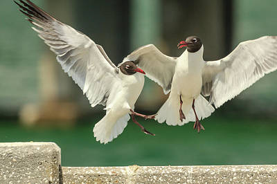 Photograph - Laughing Gulls Collision by Joni Eskridge