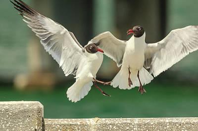 Photograph - Laughing Gulls Collision by Joni Eskridge