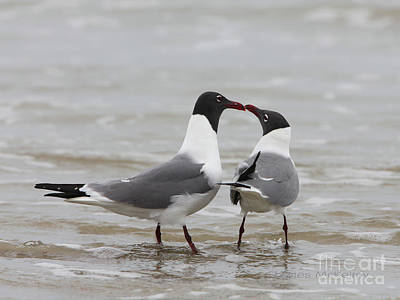 Photograph - Laughing Gulls In Love by Charles McKelroy