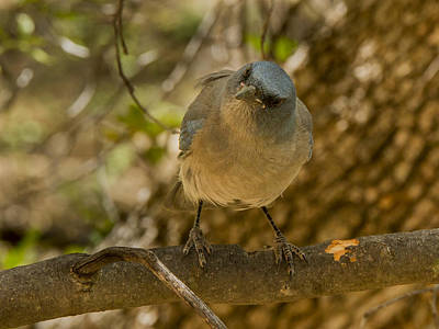 Madera Canyon Photograph - Laughing Jay by Jean Noren
