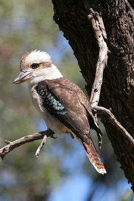 Photograph - Laughing Kookaburra A by Tony Brown