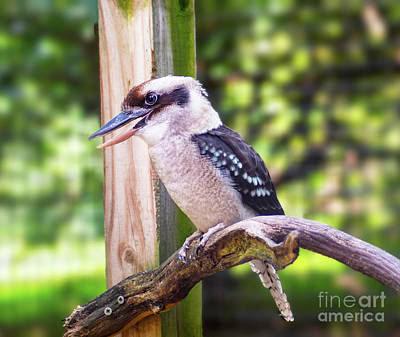 Photograph - Laughing Kookaburra by Kathy Kelly