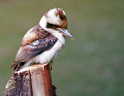 Photograph - Laughing Kookaburra by Nicholas Blackwell
