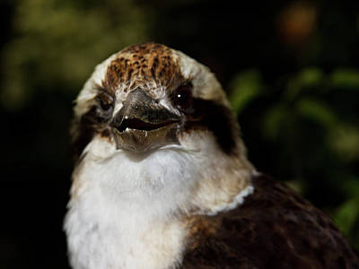 Photograph - Laughing Kookaburra Saying Hi by Miroslava Jurcik