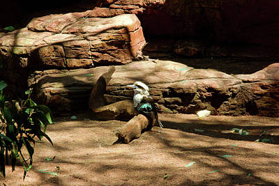 Photograph - Laughing Kookaburra Sitting On A Log by Miroslava Jurcik