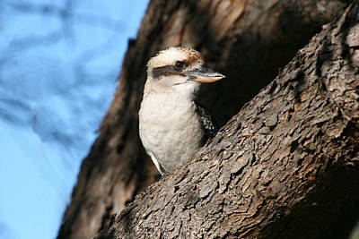 Photograph - Laughing Kookaburra  by Tony Brown