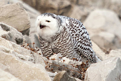Photograph - Laughing Owl by Steve Stuller