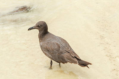 Photograph -  Lava Gull, Leucophaeus Fuliginosus,santa Cruz Island In Galapag by Marek Poplawski