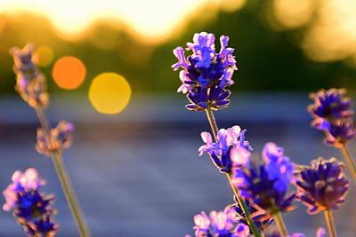 Lavender Flowers At Sunset Original