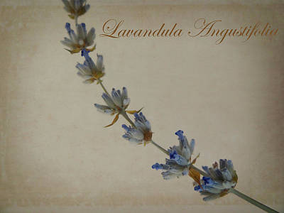 Photograph - Lavandula Angustifolia by Julia Wilcox