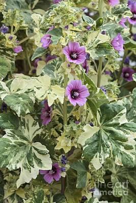 Lavatera Flowers Photograph - Lavatera Arborea Variegata by Geoff Kidd
