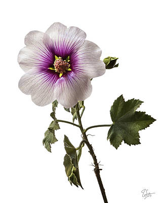 Photograph - Lavatera Mallow by Endre Balogh