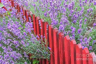 Lavender Photograph - Lavender Around A Red Wooden Fence by Amanda Mohler
