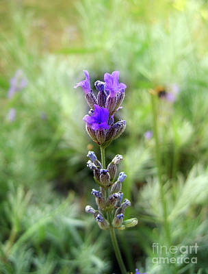 Photograph - Lavender 2 by Nina Ficur Feenan