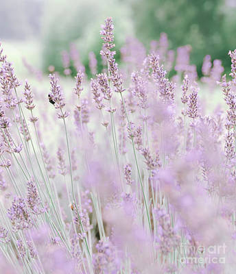 Photograph - Lavender 6 by Andrea Anderegg