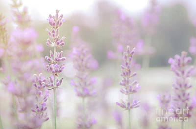 Photograph - Lavender 7  by Andrea Anderegg