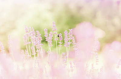 Photograph - Lavender 8 by Andrea Anderegg