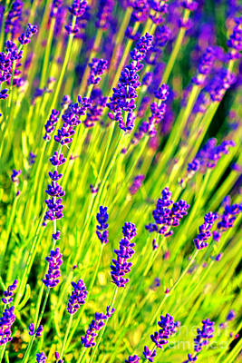 Photograph - Lavender Abstract by Olivier Le Queinec