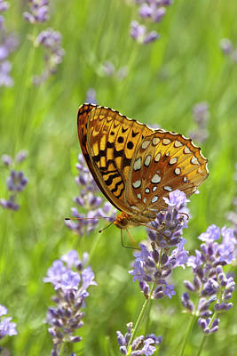 Lavender And Butterfly 2 Art Print