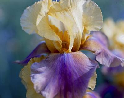 Lavender And Gold Iris Art Print by George Ferrell